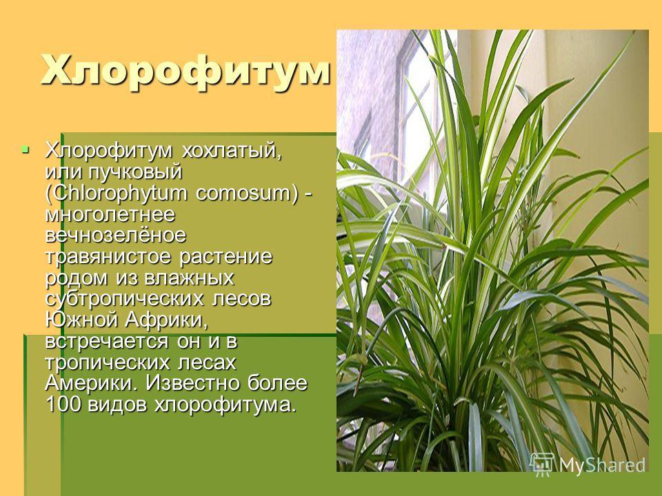 Хлорофитум Хлорофитум хохлатый, или пучковый (Chlorophytum comosum) - многолетнее вечнозелёное травянистое растение родом из влажных субтропических лесов Южной Африки, встречается он и в тропических лесах Америки. Известно более 100 видов хлорофитума