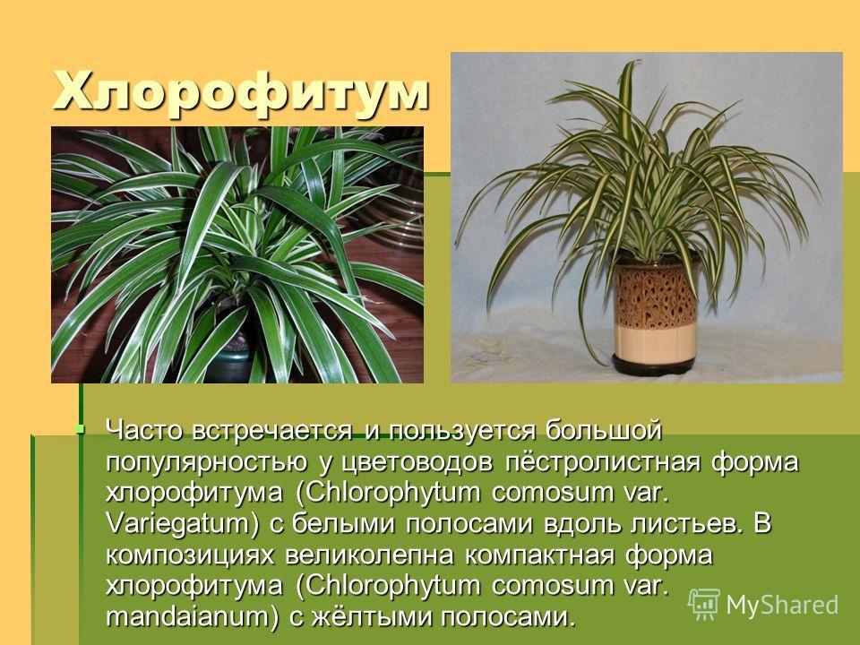 Хлорофитум Часто встречается и пользуется большой популярностью у цветоводов пёстролистная форма хлорофитума (Chlorophytum comosum var. Variegatum) с белыми полосами вдоль листьев. В композициях великолепна компактная форма хлорофитума (Chlorophytum