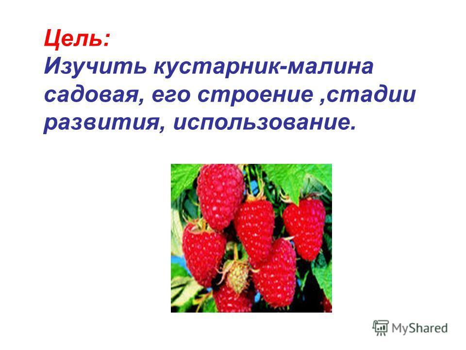 Цель: Изучить кустарник-малина садовая, его строение,стадии развития, использование.