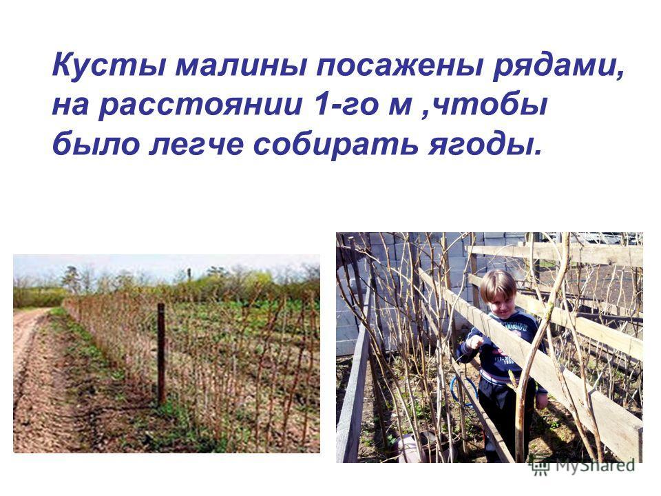Кусты малины посажены рядами, на расстоянии 1-го м,чтобы было легче собирать ягоды.