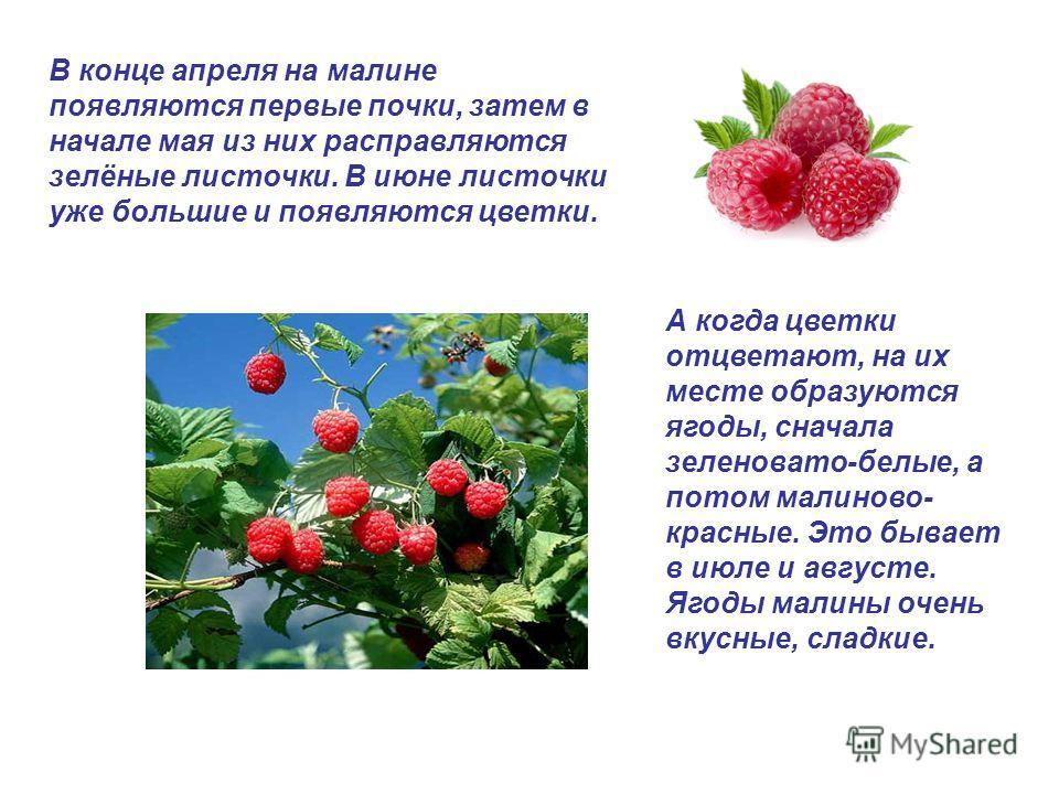 А когда цветки отцветают, на их месте образуются ягоды, сначала зеленовато-белые, а потом малиново- красные. Это бывает в июле и августе. Ягоды малины очень вкусные, сладкие. В конце апреля на малине появляются первые почки, затем в начале мая из них