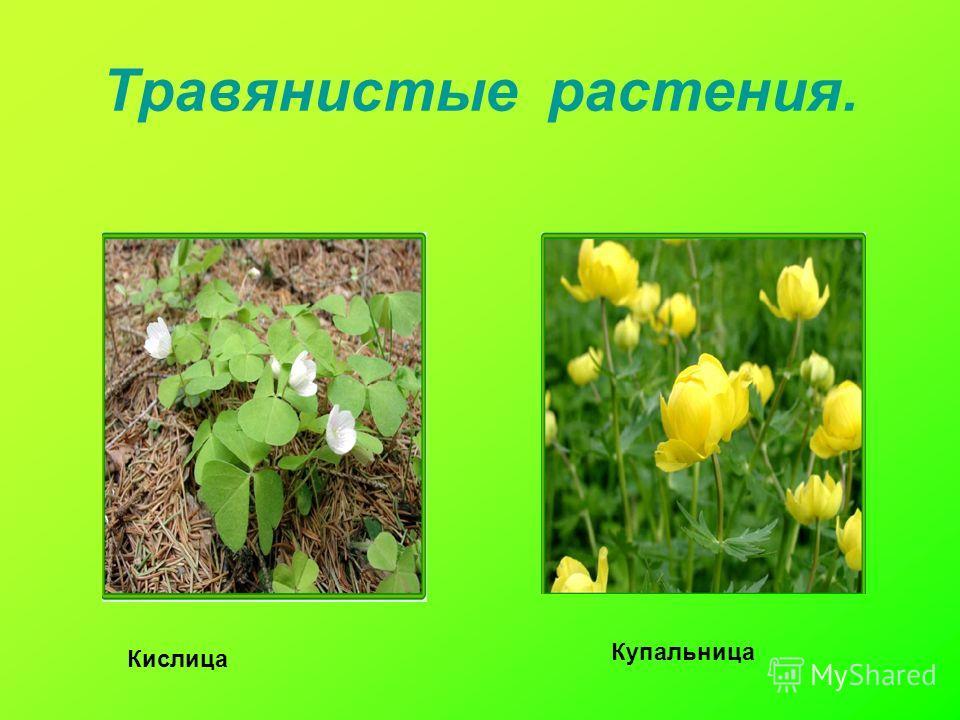 Травянистые растения. Кислица Купальница
