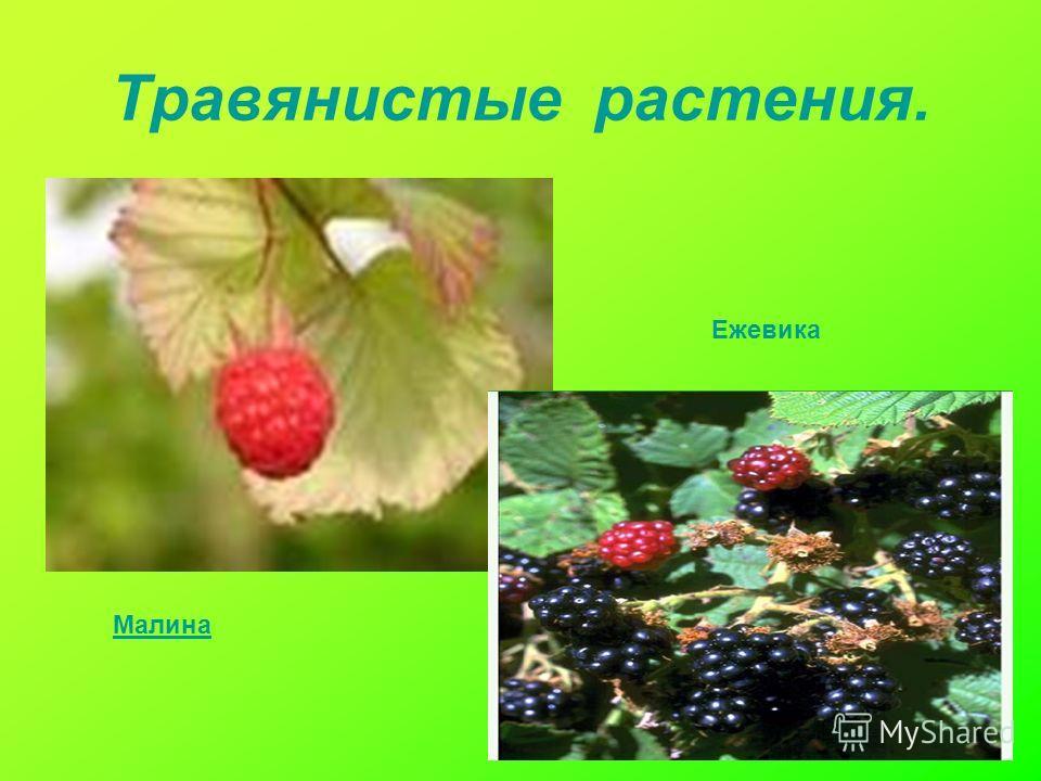 Травянистые растения. Малина Ежевика