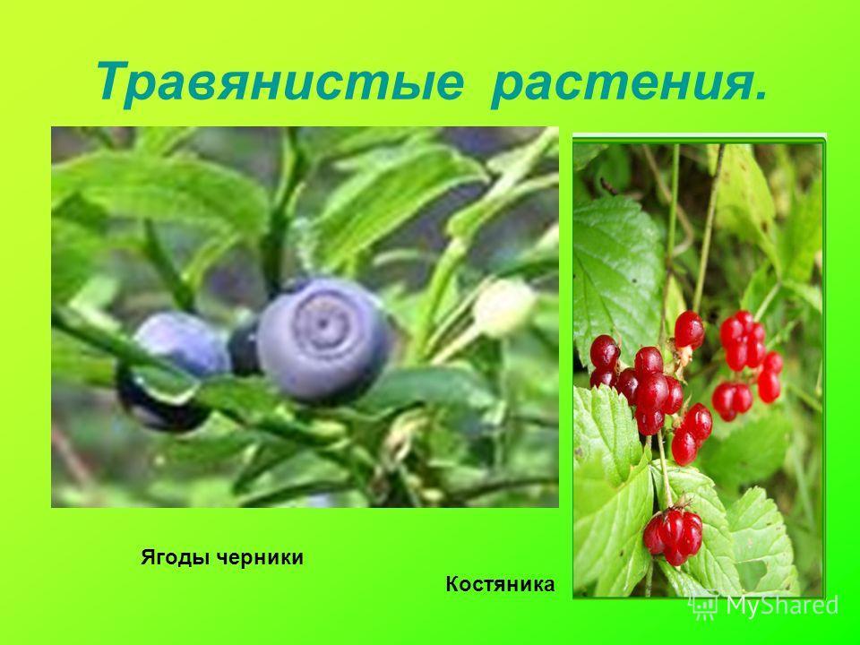 Травянистые растения. Ягоды черники Костяника