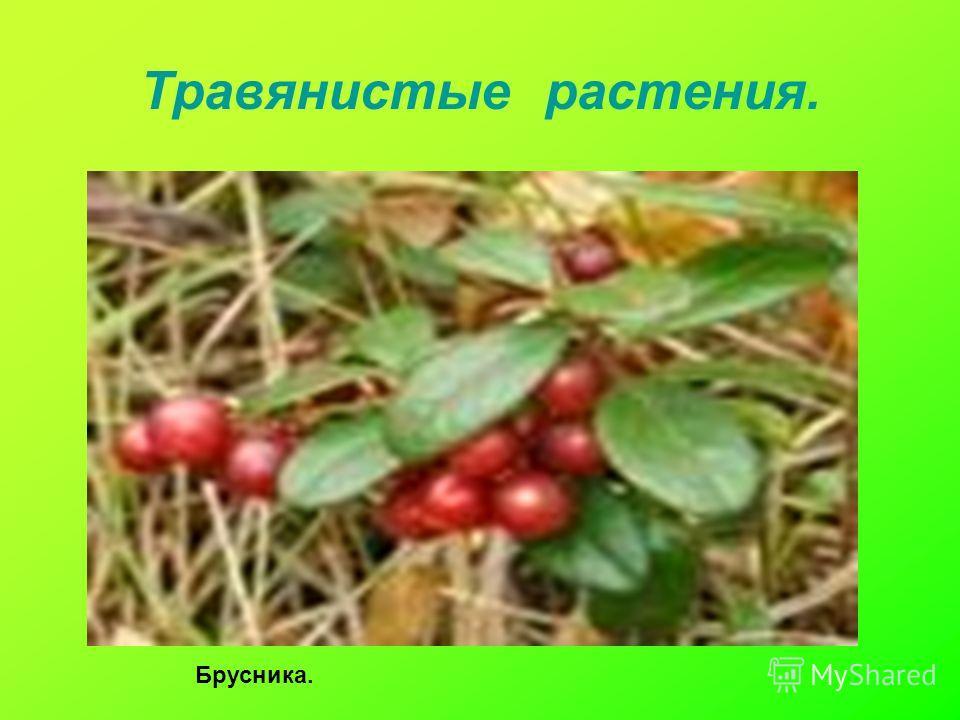 Травянистые растения. Брусника.