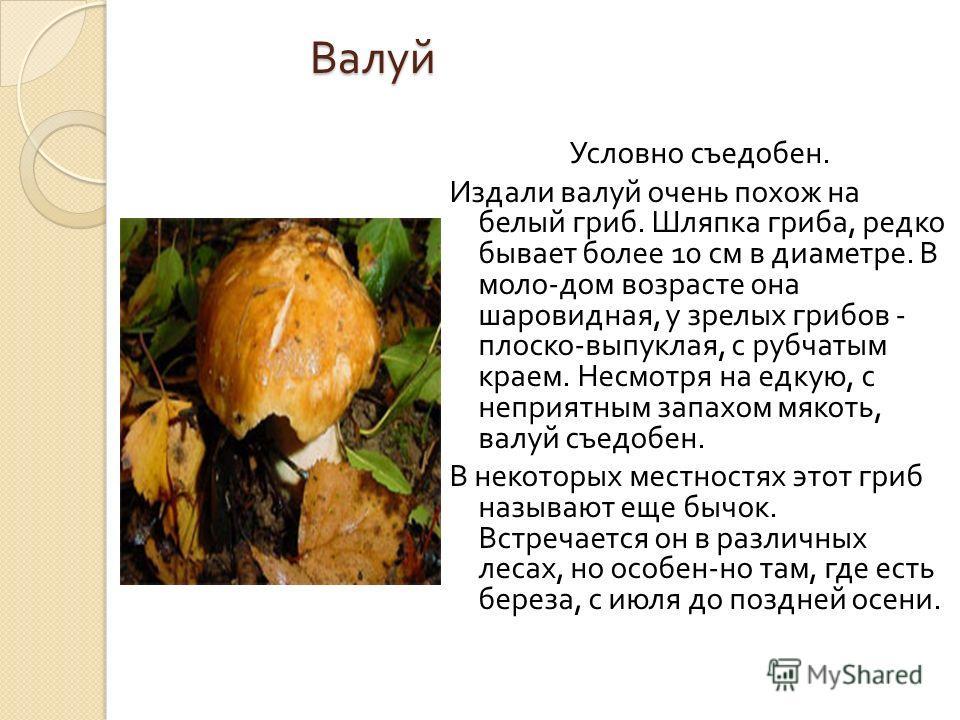 Валуй Условно съедобен. Издали валуй очень похож на белый гриб. Шляпка гриба, редко бывает более 10 см в диаметре. В моло - дом возрасте она шаровидная, у зрелых грибов - плоско - выпуклая, с рубчатым краем. Несмотря на едкую, с неприятным запахом мя
