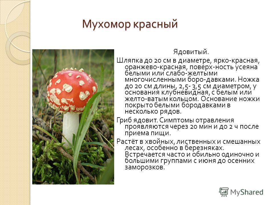 Мухомор красный Ядовитый. Шляпка до 20 см в диаметре, ярко - красная, оранжево - красная, поверх - ность усеяна белыми или слабо - желтыми многочисленными боро - давками. Ножка до 20 см длины, 2,5- 3,5 см диаметром, у основания клубневидная, с белым