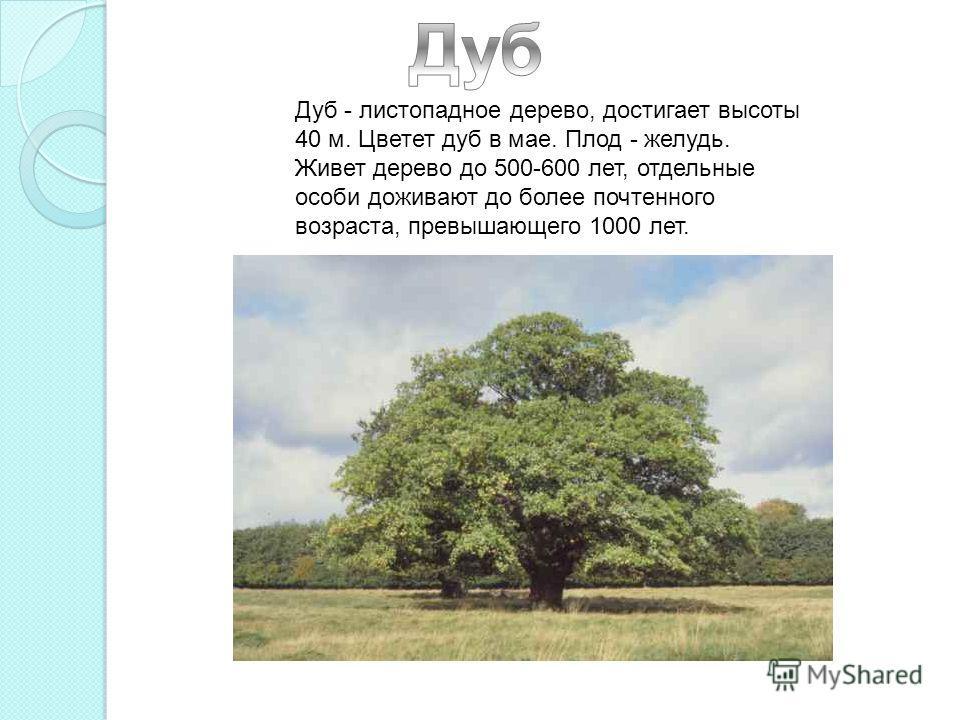 Дуб - листопадное дерево, достигает высоты 40 м. Цветет дуб в мае. Плод - желудь. Живет дерево до 500-600 лет, отдельные особи доживают до более почтенного возраста, превышающего 1000 лет.