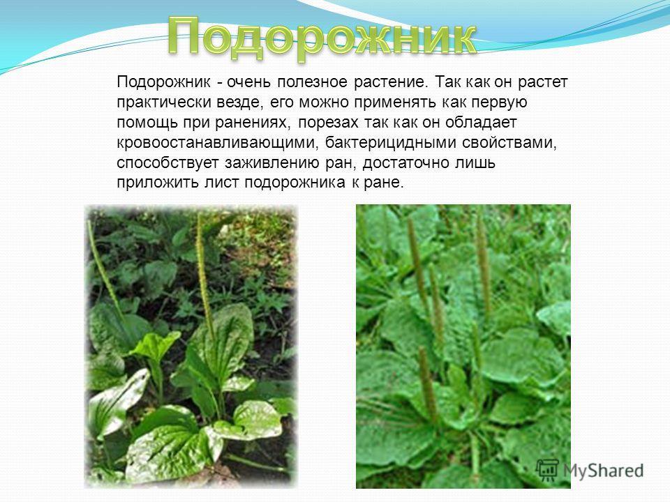 Подорожник - очень полезное растение. Так как он растет практически везде, его можно применять как первую помощь при ранениях, порезах так как он обладает кровоостанавливающими, бактерицидными свойствами, способствует заживлению ран, достаточно лишь