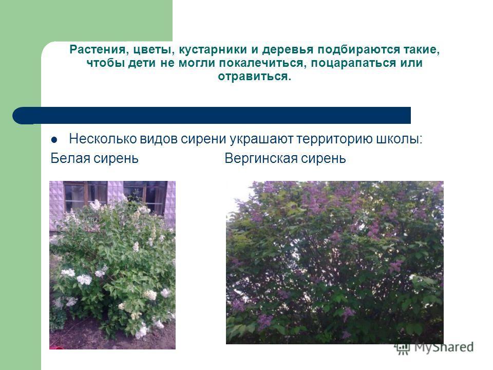 Растения, цветы, кустарники и деревья подбираются такие, чтобы дети не могли покалечиться, поцарапаться или отравиться. Несколько видов сирени украшают территорию школы: Белая сирень Вергинская сирень