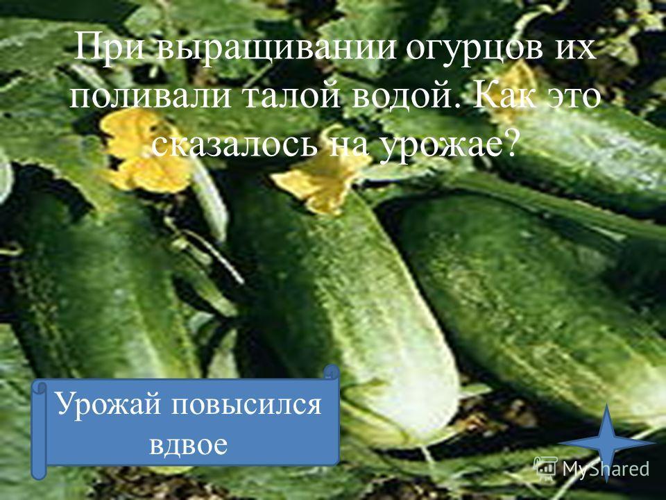 При выращивании огурцов их поливали талой водой. Как это сказалось на урожае? Урожай повысился вдвое