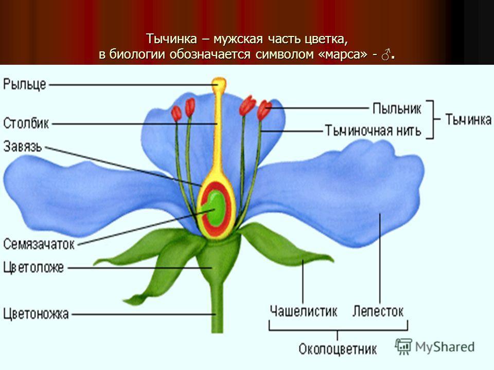 Тычинка – мужская часть цветка, в биологии обозначается символом «марса» -.