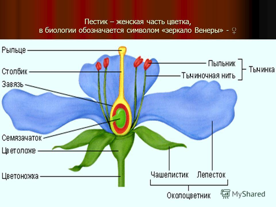 Пестик – женская часть цветка, в биологии обозначается символом «зеркало Венеры» - Пестик – женская часть цветка, в биологии обозначается символом «зеркало Венеры» -