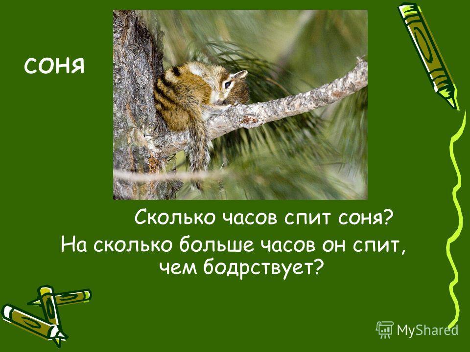 соня Сколько часов спит соня? На сколько больше часов он спит, чем бодрствует?
