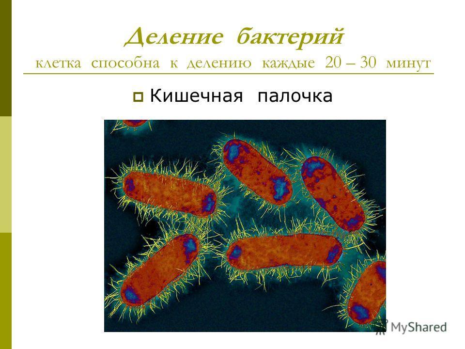 Деление бактерий клетка способна к делению каждые 20 – 30 минут Кишечная палочка