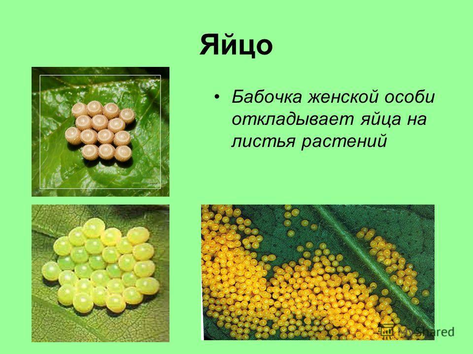 Яйцо Бабочка женской особи откладывает яйца на листья растений