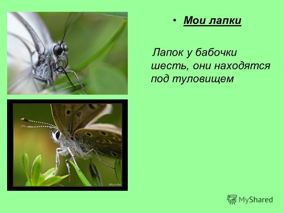 Мои лапки Лапок у бабочки шесть, они находятся под туловищем