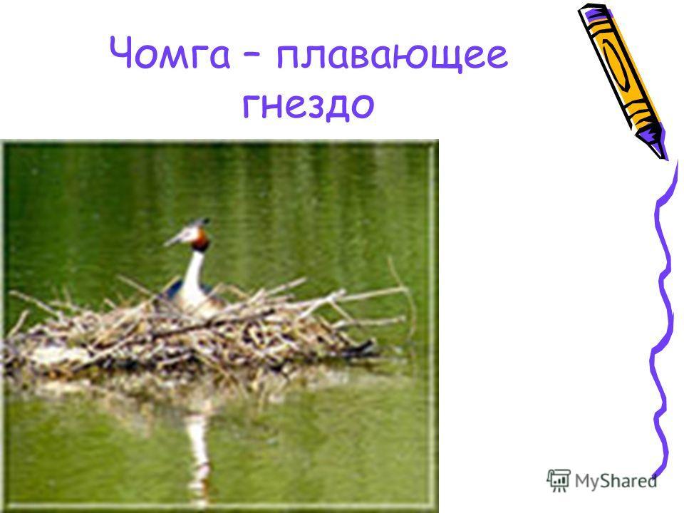 Чомга – плавающее гнездо