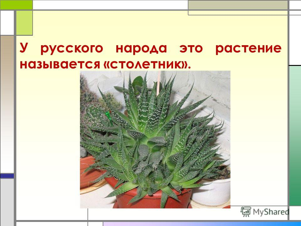У русского народа это растение называется «столетник».