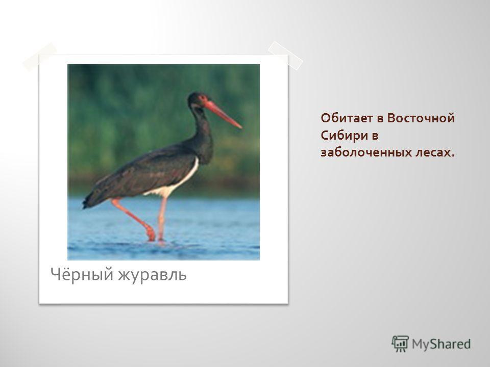 Обитает в Восточной Сибири в заболоченных лесах. Чёрный журавль