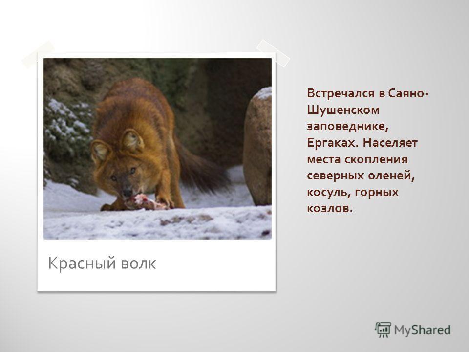 Встречался в Саяно - Шушенском заповеднике, Ергаках. Населяет места скопления северных оленей, косуль, горных козлов. Красный волк