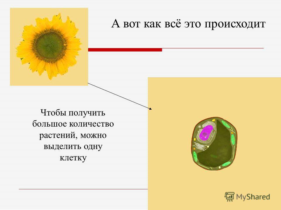Чтобы получить большое количество растений, можно выделить одну клетку А вот как всё это происходит