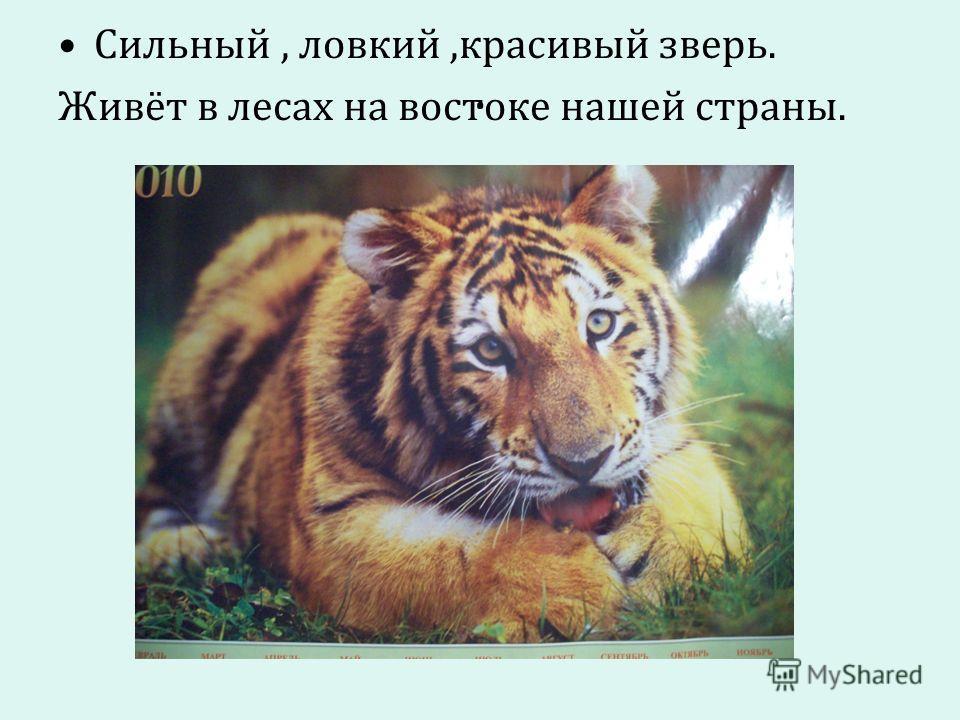 . Сильный, ловкий,красивый зверь. Живёт в лесах на востоке нашей страны.