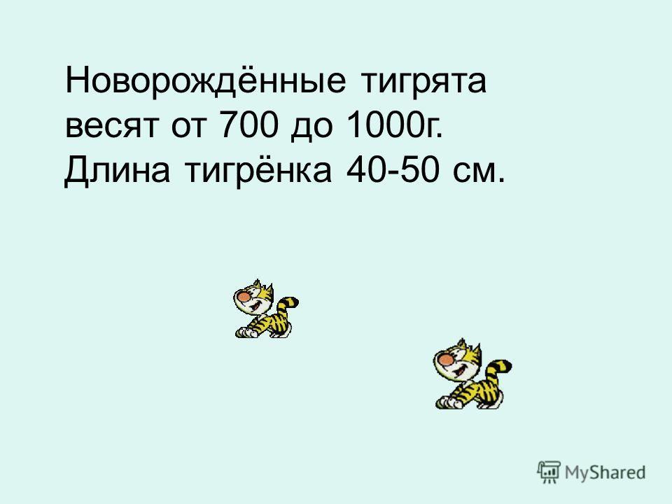 Новорождённые тигрята весят от 700 до 1000г. Длина тигрёнка 40-50 см.