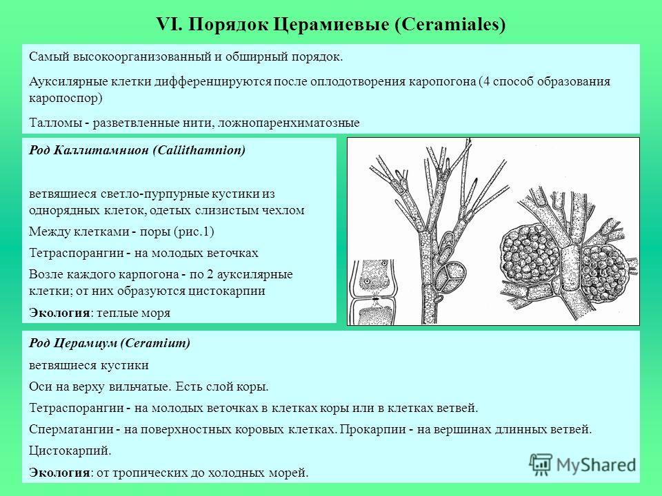VI. Порядок Церамиевые (Ceramiales) Самый высокоорганизованный и обширный порядок. Ауксилярные клетки дифференцируются после оплодотворения каропогона (4 способ образования каропоспор) Талломы - разветвленные нити, ложнопаренхиматозные Род Каллитамни