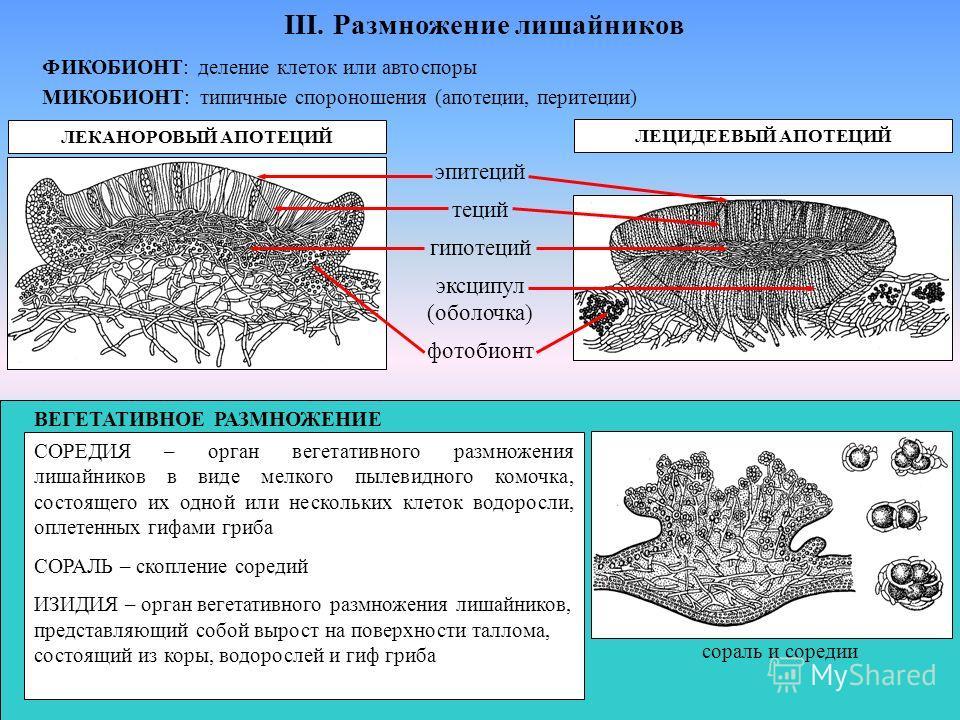 III. Размножение лишайников ФИКОБИОНТ: деление клеток или автоспоры МИКОБИОНТ: типичные спороношения (апотеции, перитеции) ЛЕКАНОРОВЫЙ АПОТЕЦИЙ ЛЕЦИДЕЕВЫЙ АПОТЕЦИЙ эпитеций теций гипотеций эксципул (оболочка) фотобионт СОРЕДИЯ – орган вегетативного р