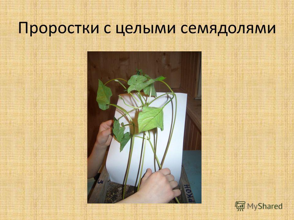 Проростки с целыми семядолями