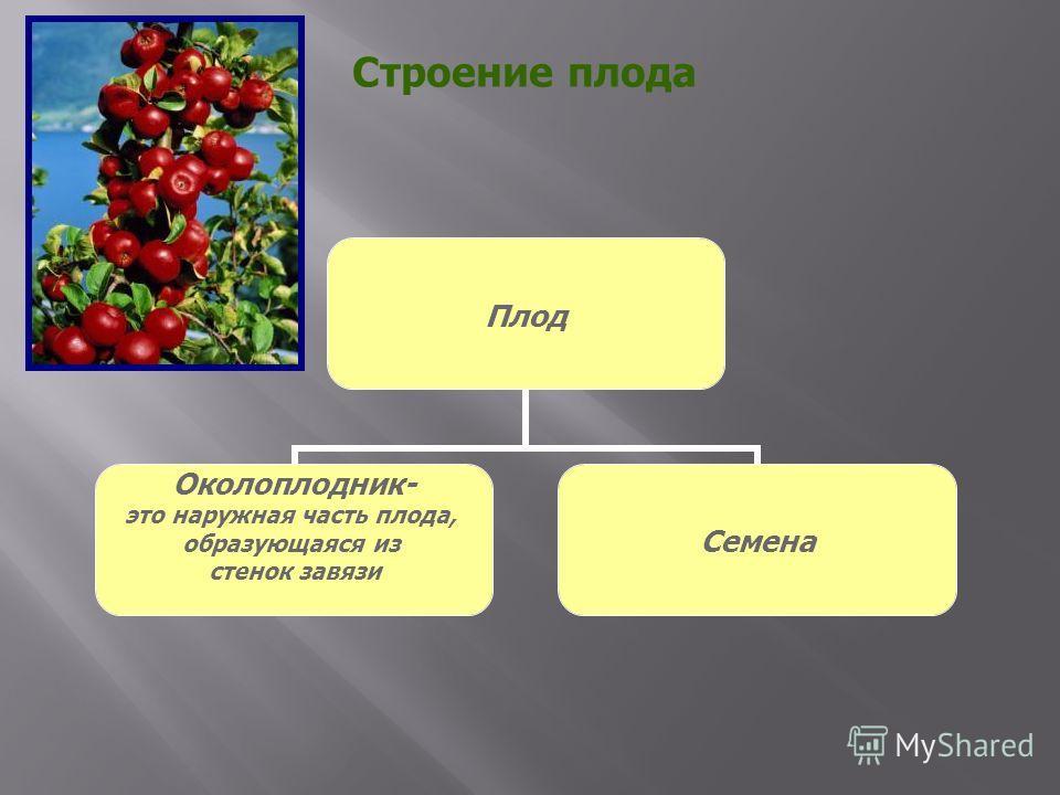 Строение плода Плод Околоплодник- это наружная часть плода, образующаяся из стенок завязи Семена