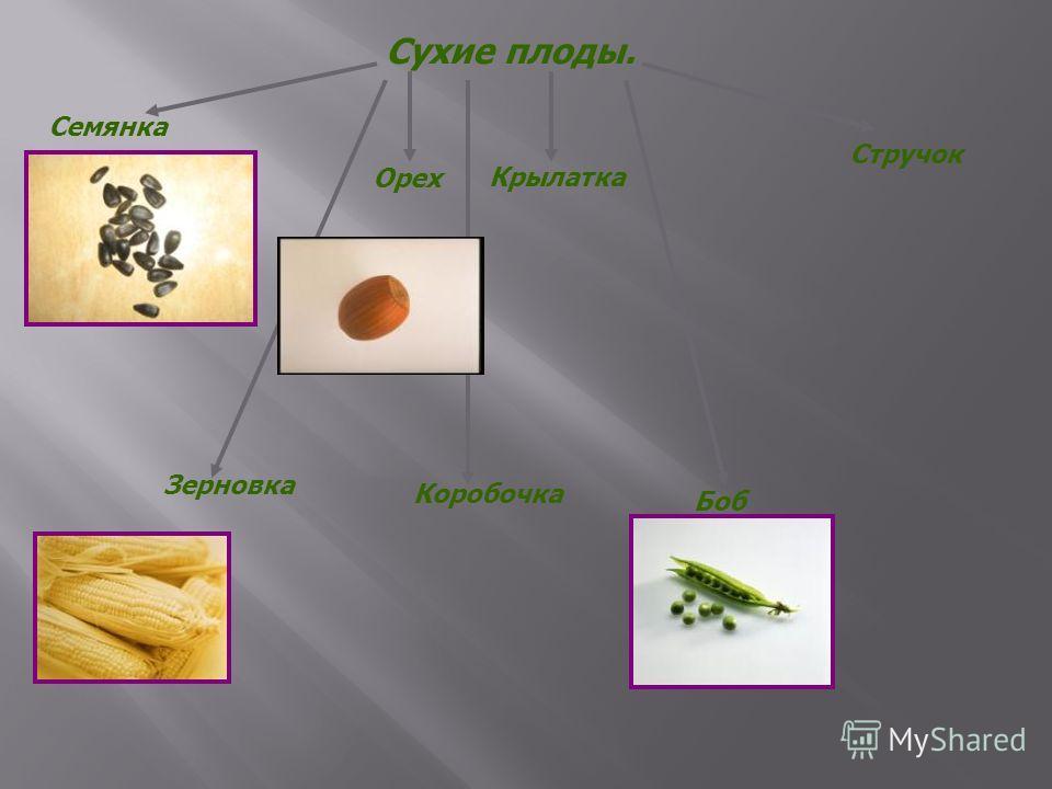 Сухие плоды. Семянка Зерновка Орех Крылатка Боб Стручок Коробочка
