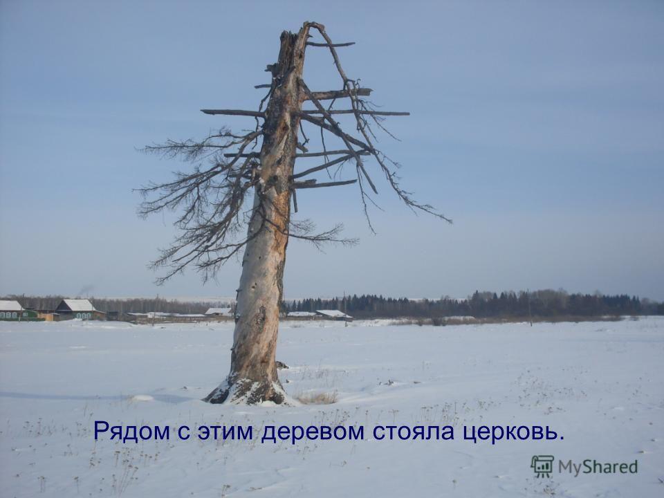 Рядом с этим деревом стояла церковь.