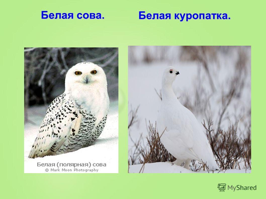 Белая сова. Белая куропатка.