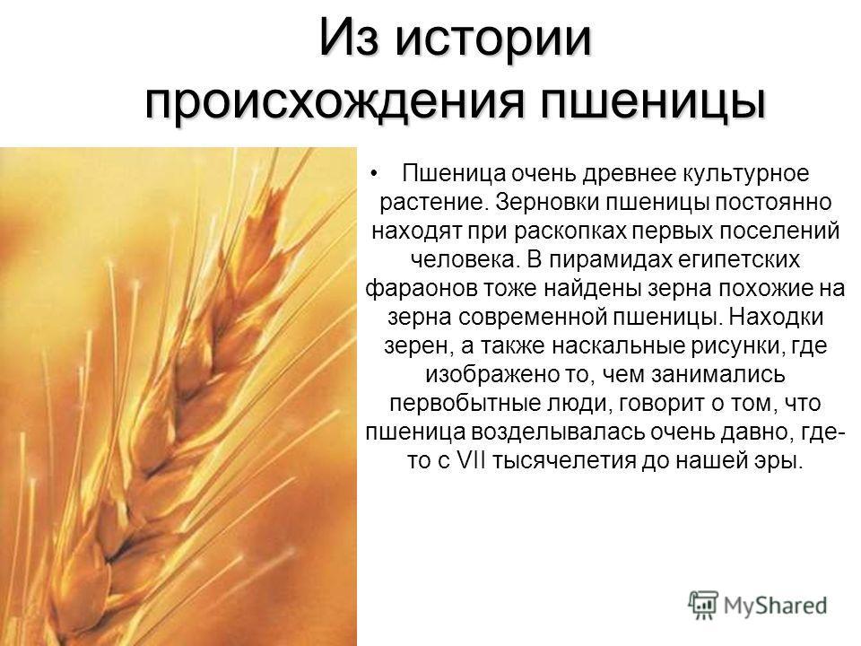 Из истории происхождения пшеницы Пшеница очень древнее культурное растение. Зерновки пшеницы постоянно находят при раскопках первых поселений человека. В пирамидах египетских фараонов тоже найдены зерна похожие на зерна современной пшеницы. Находки з