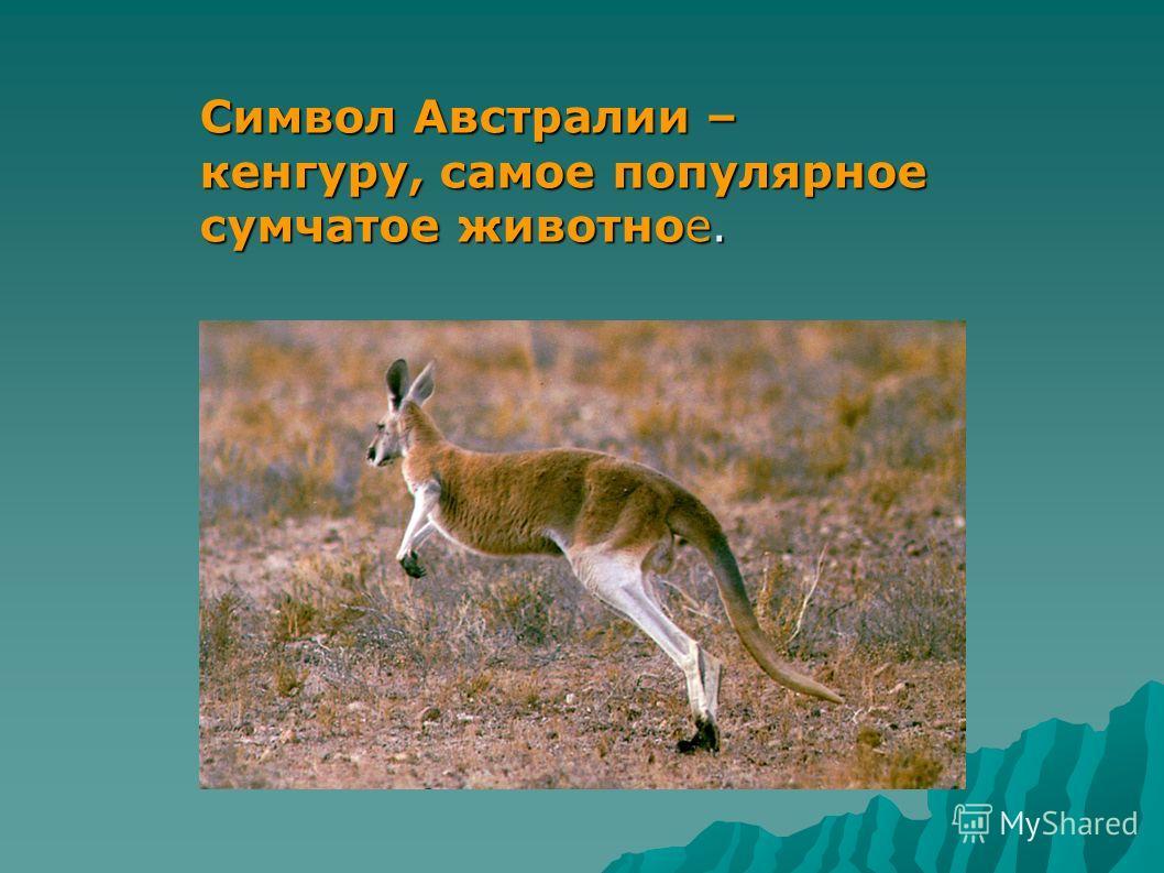 Символ Австралии – кенгуру, самое популярное сумчатое животное.
