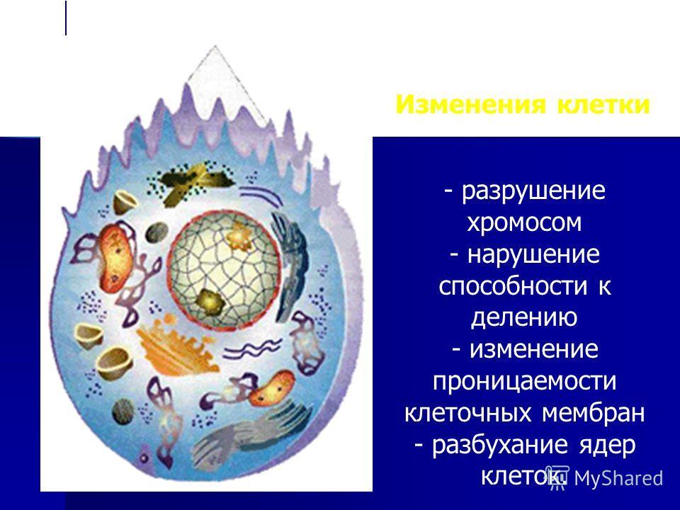 Изменения клетки - разрушение хромосом - нарушение способности к делению - изменение проницаемости клеточных мембран - разбухание ядер клеток.