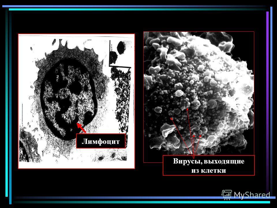 Лимфоцит Вирусы, выходящие из клетки