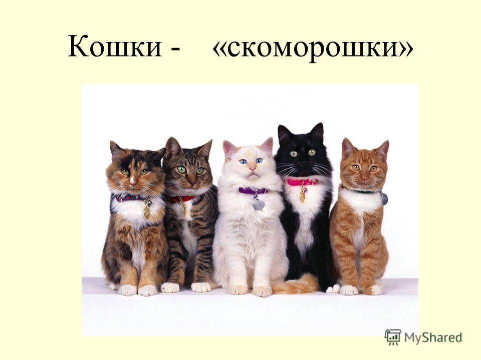 Кошки - «скоморошки»