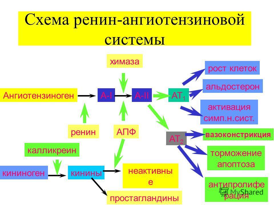 Схема ренин-ангиотензиновой системы АнгиотензиногенA-IA-IIАТ 1 рост клеток альдостерон активация симп.н.сист. вазоконстрикция АТ 2 торможение апоптоза антипролифе рация ренинАПФ химаза кининогенкинины неактивны е пептиды простагландины калликреин