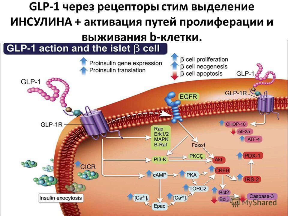 GLP-1 через рецепторы стим выделение ИНСУЛИНА + активация путей пролиферации и выживания b-клетки.