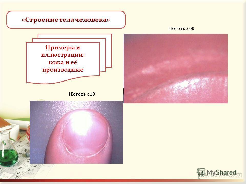 «Строение тела человека» Ноготь х 10 Ноготь х 60 Примеры и иллюстрации: кожа и её производные