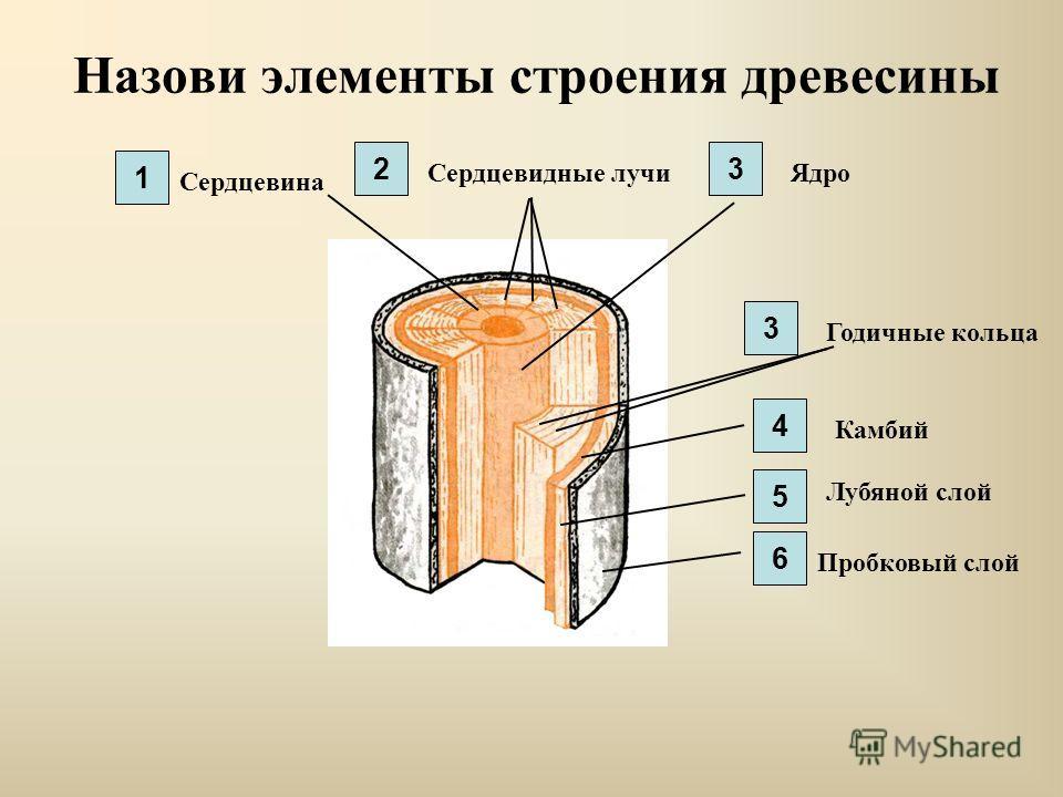 Назови элементы строения древесины Сердцевина Сердцевидные лучиЯдро Годичные кольца Камбий Лубяной слой Пробковый слой 1 23 3 4 5 6
