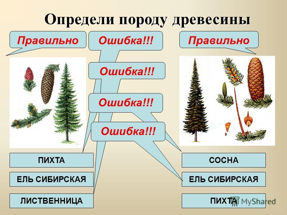 презентация на тему древесина породы древесины