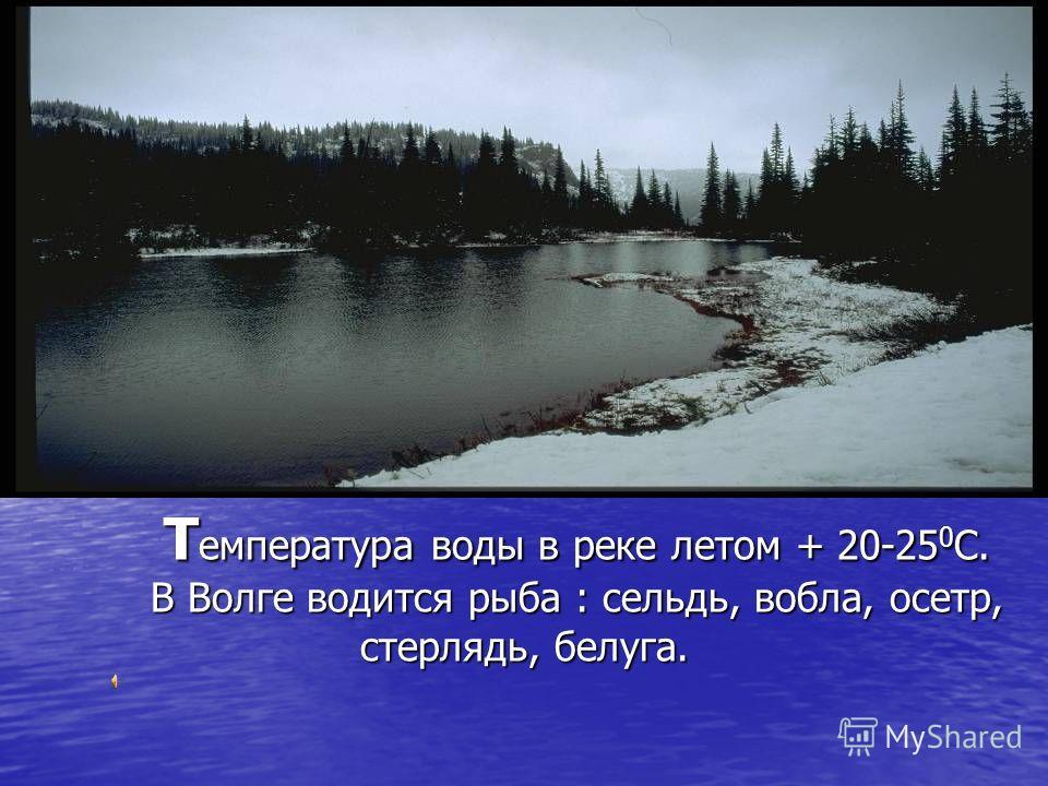 Т емпература воды в реке летом + 20-25 0 С. В Волге водится рыба : сельдь, вобла, осетр, стерлядь, белуга.