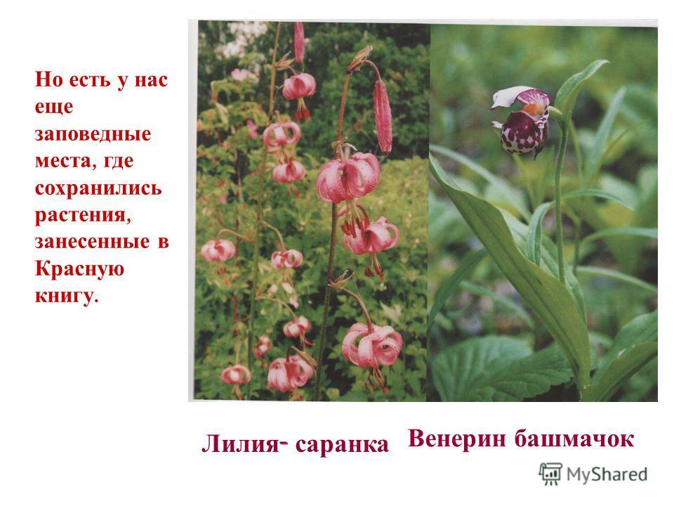 Но есть у нас еще заповедные места, где сохранились растения, занесенные в Красную книгу. Лилия - саранка Венерин башмачок
