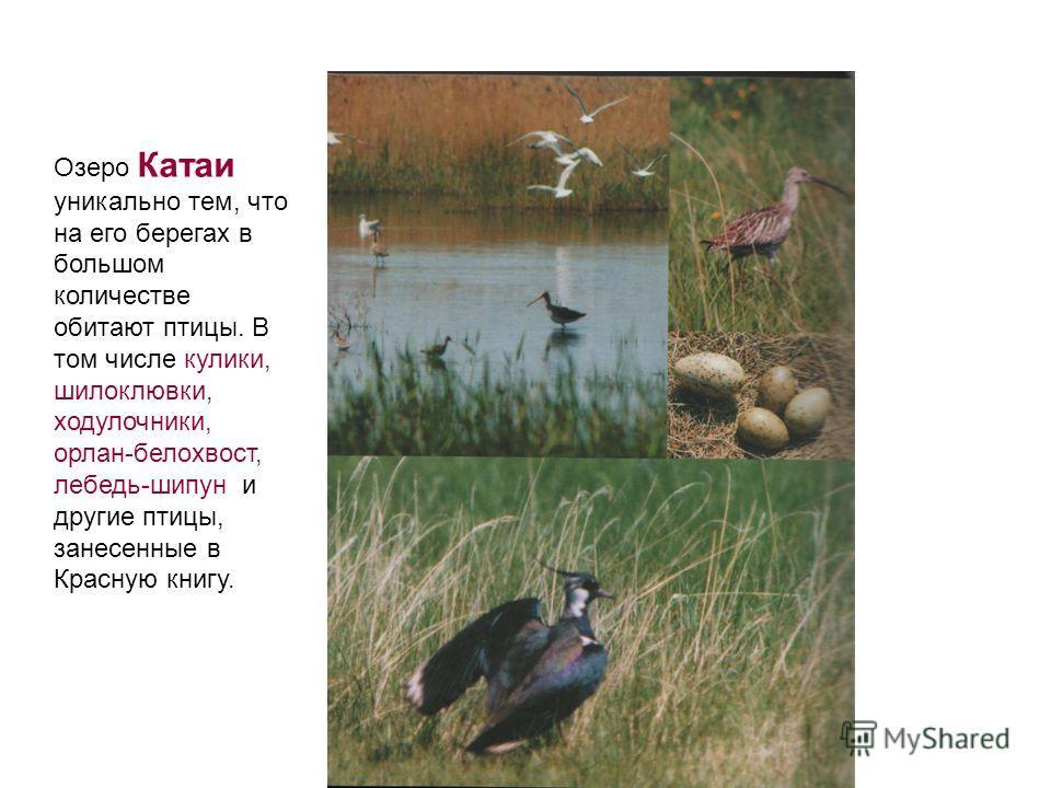 Озеро Катаи уникально тем, что на его берегах в большом количестве обитают птицы. В том числе кулики, шилоклювки, ходулочники, орлан-белохвост, лебедь-шипун и другие птицы, занесенные в Красную книгу.