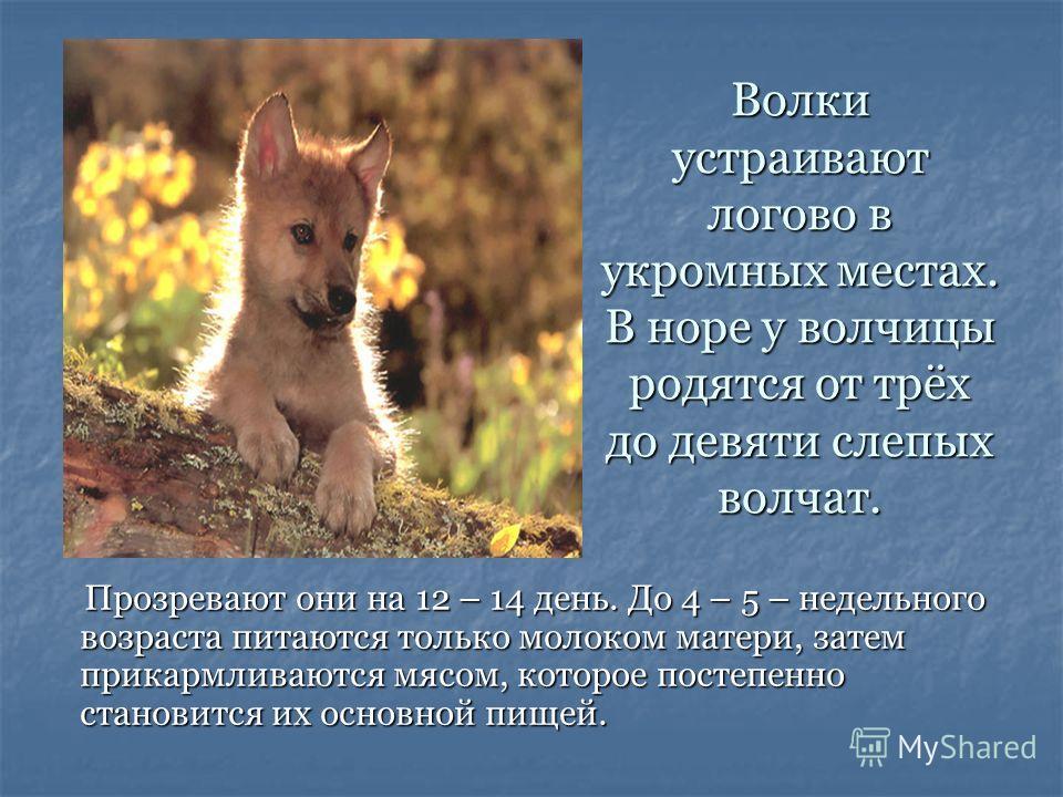 Волки устраивают логово в укромных местах. В норе у волчицы родятся от трёх до девяти слепых волчат. Прозревают они на 12 – 14 день. До 4 – 5 – недельного возраста питаются только молоком матери, затем прикармливаются мясом, которое постепенно станов