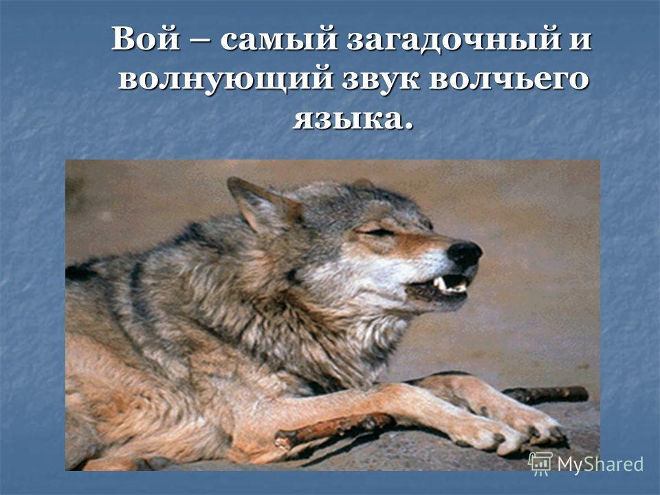 Вой – самый загадочный и волнующий звук волчьего языка. Вой – самый загадочный и волнующий звук волчьего языка.